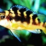 freshwater fish - pseudotropheus crabro - bumblebee cichlid stocking in 20 gallons tank - My Bumblebee Cichlid