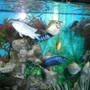 freshwater fish - metynnis argenteus - silver dollar stocking in 75 gallons tank - Group.....