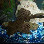 freshwater fish - glyptoperichthys gibbiceps - sailfin pleco (l-83) stocking in 55 gallons tank - large sail fin pleco