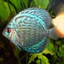 freshwater fish - turquoise checker board discus stocking in 125 gallons tank - discus, turquoise checkerboard, (atleast that's what the lfs called it)
