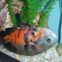 freshwater fish - astronotus ocellatus - tiger oscar stocking in 55 gallons tank - Tiger Oscar playing dead