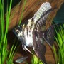 freshwater fish - pterophyllum sp. - marble veil angel stocking in 125 gallons tank - Marbled Angel