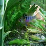 freshwater fish - papiliochromis ramirezi - german blue ram stocking in 52 gallons tank - female ram