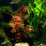freshwater fish - hemigrammus bleheri - true rummynose tetra stocking in 6 gallons tank - Two Pole
