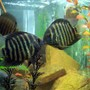freshwater fish - heros serverus - green severum stocking in 75 gallons tank - pair green severums