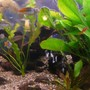 freshwater fish - melanotaenia boesemani - boesemani rainbow stocking in 75 gallons tank - side view