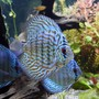 freshwater fish - blue turquoise discus stocking in 100 gallons tank - A Turquoise Discus in the foreground and a couple of Blue Diamond Discus in the background.