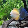 freshwater fish - symphysodon sp. - marlboro discus stocking in 100 gallons tank - A Blue Diamond Cross and Marlboro Orange Discus.