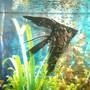 freshwater fish - pterophyllum sp. - black veil angel stocking in 50 gallons tank - angel