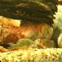 freshwater fish - brochis splendens - emerald green cory cat stocking in 250 gallons tank - cory cat