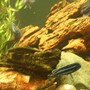 freshwater fish - melanochromis cyaneorhabdos - maingano cichlid stocking in 250 gallons tank - sideview 2
