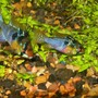 freshwater fish - papiliochromis ramirezi - german blue ram stocking in 125 gallons tank - GBR pair