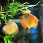 freshwater fish - symphysodon spp. - pigeon blood discus stocking in 55 gallons tank - My Discus