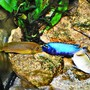 freshwater fish - pseudotropheus polit - polit stocking in 63 gallons tank - Cichlids Kiss
