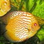 freshwater fish - symphysodon spp. - pigeon blood discus stocking in 135 gallons tank - Discus
