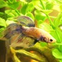 freshwater fish - betta splendens - betta - male stocking in 150 gallons tank - Betta