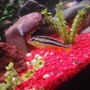 freshwater fish - melanochromis auratus - auratus cichlid stocking in 29 gallons tank - Malawi golden