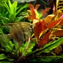 freshwater fish - pterophyllum scalare - half black angelfish stocking in 40 gallons tank - Pterophillum Scalare