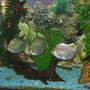 freshwater fish - metynnis argenteus - silver dollar stocking in 55 gallons tank - silver dollars hanging out