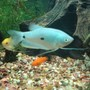 freshwater fish - trichogaster trichopterus - blue gourami stocking in 65 gallons tank - more pics