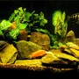 freshwater fish - cyphotilapia frontosa - frontosa cichlid stocking in 29 gallons tank - Another Setup