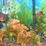 freshwater fish - astronotus ocellatus - tiger oscar stocking in 30 gallons tank - 30 gal. housing 1 Red Tiger Oscar, 2 young Plecos