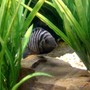 freshwater fish - archocentrus nigrofasciatus - black convict cichlid stocking in 55 gallons tank - Convict Cichlid male
