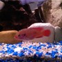 freshwater fish - hemichromis bimaculatus - jewel cichlid stocking in 85 gallons tank - Red Jewel Cichlid