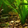 freshwater fish - papiliochromis ramirezi - german blue ram stocking in 40 gallons tank - Male German Blue Ram