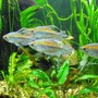 freshwater fish - phenacogrammus interruptus - congo tetra stocking in 55 gallons tank - Congo Tetra