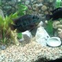 freshwater fish - cichlasoma sp. - flower horn cichlid stocking in 90 gallons tank - flower horn, and my dempsey