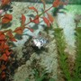 freshwater fish - poecilia latipinna - dalmatian molly stocking in 30 gallons tank - Dalmation Balloon Molly