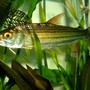 freshwater fish - crossocheilus siamensis - siamese flying fox stocking in 80 gallons tank - African Tiger Fish