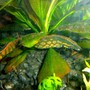 freshwater fish - mastacembelus armatus - tire track eel stocking in 80 gallons tank - Tire Track Eel