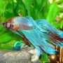 freshwater fish - betta splendens - betta - male stocking in 55 gallons tank - my betta. alone in a 10 gal to avoid stressing him out. i loved teh blue and red color on him when i saw him so he came home to go in the tank.