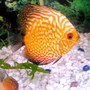 freshwater fish - red map discus stocking in 20 gallons tank - See my redmap