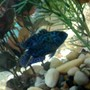 freshwater fish - nandopsis octofasciatum - electric blue jack dempsey stocking in 75 gallons tank - electric blue jack dempsey