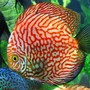 freshwater fish - red and white disucs stocking in 96 gallons tank - Red and White Disucs