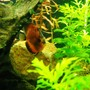 freshwater fish - symphysodon sp. - red discus stocking in 75 gallons tank - Nice pic
