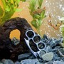 freshwater fish - hyphessobrycon callistus - red minor serpae tetra stocking in 55 gallons tank - My fish are Tough!