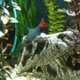 freshwater fish - epalzeorhynchos bicolor - redtail shark stocking in 65 gallons tank - red tailed shark
