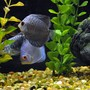 freshwater fish - symphysodon sp. - blue diamond discus stocking in 55 gallons tank - Blue diamond and blue snakeskin discus.