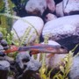 freshwater fish - epalzeorhynchos bicolor - redtail shark stocking in 55 gallons tank - Red Tail Shark