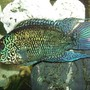 freshwater fish - nandopsis octofasciatum - electric blue jack dempsey stocking in 90 gallons tank - Nando - my 2 year old hand-fed 8 inch Male Electric Blue Jack Dempsey Cichlid who is so compatible with my Clown Loaches and Boesemans Rainbows. This fish has completed my aquarium and has exceeded my expectations.