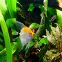 freshwater fish - pterophyllum sp. - koi angel stocking in 38 gallons tank - My Koi Angel