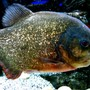freshwater fish - pygocentrus nattereri - redbellied pirhana stocking in 90 gallons tank - Red Belly Pirana