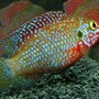 freshwater fish - hemichromis stellifer stocking in 137 gallons tank - Hemichromis stellifer