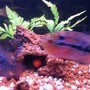 freshwater fish - nandopsis salvini - salvini cichlid stocking in 55 gallons tank - So Fresh and So Clean..