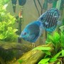 freshwater fish - symphysodon sp. - blue diamond discus stocking in 55 gallons tank - my blue diamond and red turquoise discus