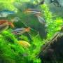 freshwater fish - melanotaenia splendida - australian rainbow stocking in 55 gallons tank - Rainbow fish